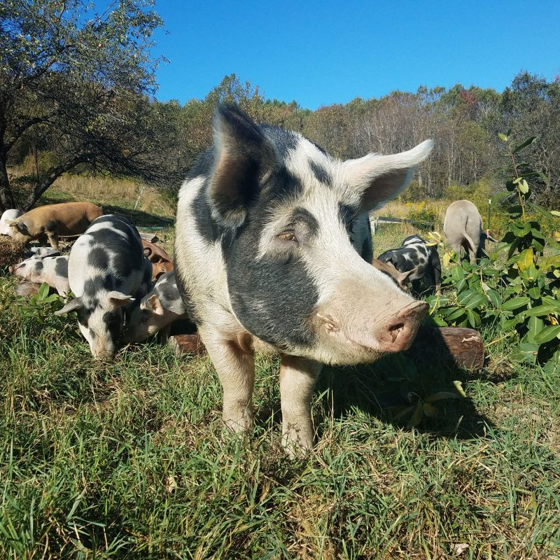 Boar with pigs and piglets on pasture